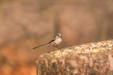 tailed: Long tailed tit on tree trunk Stock Photo
