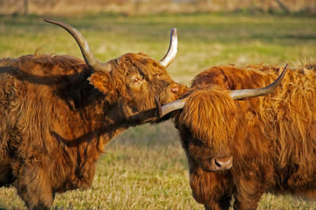 Highland Cows grooming each other