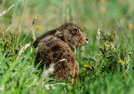 liebre: Hare sentado en la hierba Foto de archivo