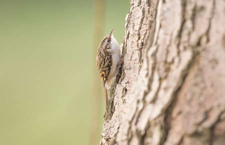 familiaris: Treecreeper, Certhia familiaris, on a tree trunk