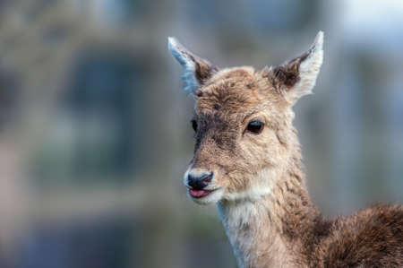 lengua afuera: Un Corzo disparo en la cabeza cerca con la lengua fuera