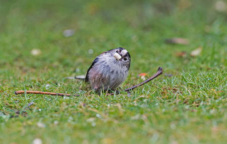 tailed: Long tailed tit on grass