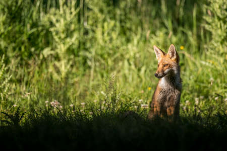 prowling: A Red Fox in the grass