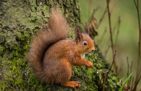vulgaris: Red squirrel ,Sciurus vulgaris, on a tree trunk