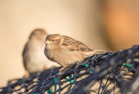 passer by: Sparrow, Passer domesticus, perched on a creel at the harbour