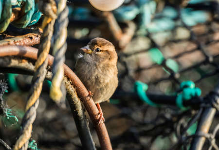 domesticus: Sparrow, Passer domesticus, perched on creel