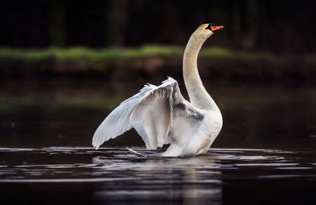 exhibiting: Mute swan, Cygnus olor, displaying on a pond Stock Photo