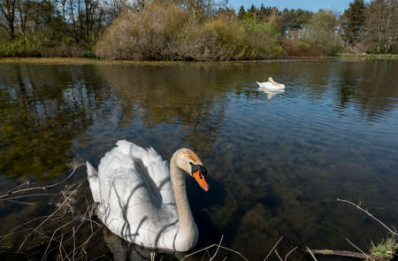 cygnus olor: A pair of Mute, Cygnus olor, Swans on a pond