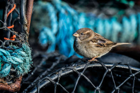 passer    by: Sparrow, Passer domesticus, perched on a creel Stock Photo