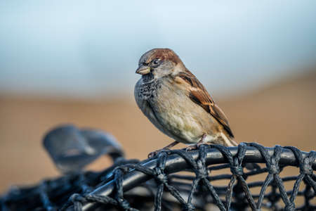 domesticus: Sparrow, Passer domesticus, perched on a creel Stock Photo