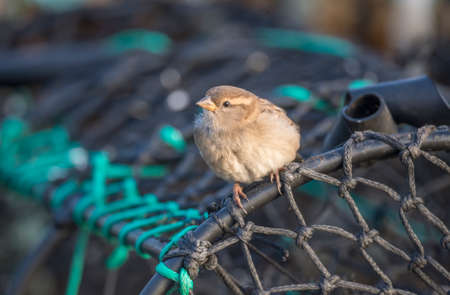 domesticus: Sparrow, Passer domesticus, perched on a creel at the harbour