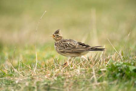 arvensis: Skylark, Alauda arvensis, on the grass, calling Stock Photo