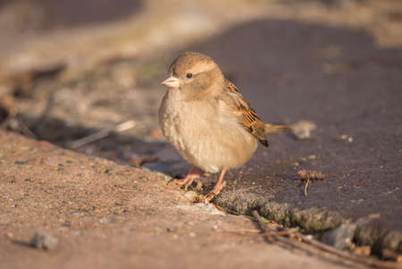 domesticus: Sparrow, Passer domesticus, standing on pavement Stock Photo