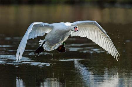 Mute swan flying across a pond