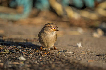 passer by: Sparrow, Passer domesticus, on the pavement feeding