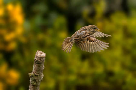domesticus: Sparrow, Passer domesticus, flying from a branch Stock Photo