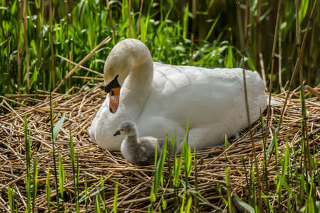 cygnus olor: Mute swan, Cygnus olor, with newly hatched Cygnet on the nest Stock Photo