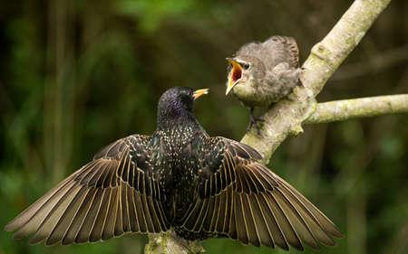 A Starling, Sturnus vulgaris, perched on a branch feeding its baby