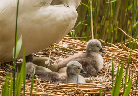 cygnus olor: Mute swan, Cygnus olor, on nest with hatching egg and newly hatched Cygnets