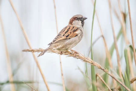 passer by: Sparrow, Passer domesticus, perched on a reed Stock Photo
