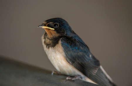 hirundo rustica: Swallow, Hirundo rustica, perched on a railing
