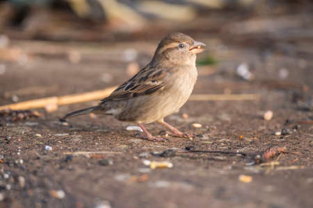 passer by: Sparrow, Passer domesticus, standing on pavement, eating Stock Photo