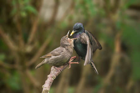 juveniles: A Starling, Sturnus vulgaris, perched on a branch feeding its baby