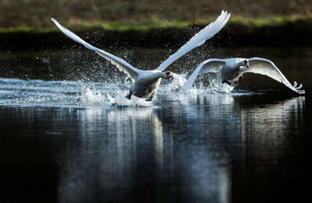 cygnus olor: Mute swans, Cygnus olor, flying across pond Stock Photo