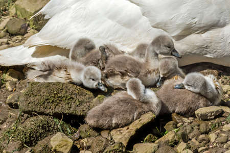 cygnus olor: Mute swan, Cygnus olor, with Cygnets sitting on the rocks by the river Stock Photo