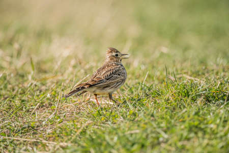 tweeting: Skylark, Alauda arvensis, on the grass tweeting