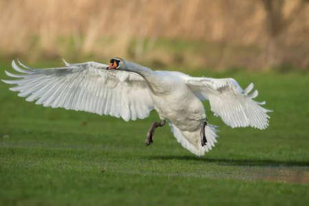 cygnus olor: Mute swan, Cygnus olor, taking flight