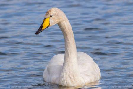 swan: Whooper Swan, Cygnus cygnus, swimming on a loch, close up