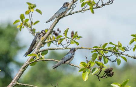 golondrinas: Golondrinas, Hirundo rustica, encaramado en la rama de un árbol
