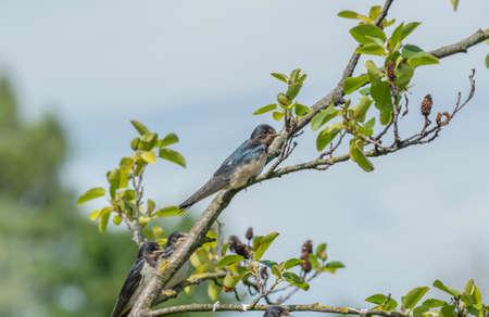 hirundo rustica: Swallow, Hirundo rustica,  perched on the branch of a tree
