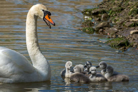 olor: Mute swan, Cygnus olor, on the river with seven Cygnets Stock Photo