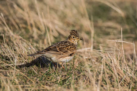 arvensis: Skylark, Alauda arvensis, standing on the grass