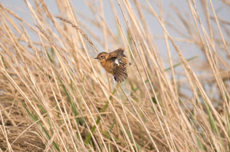 Stonechat, Saxicola rubicola, female, perched on a reed