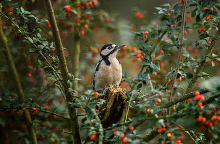 dendrocopos: Great spotted woodpecker, Dendrocopos major, perched on a branch, in a berry bush Stock Photo