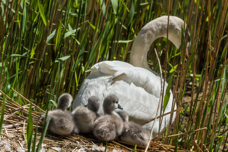 cygnus olor: Mute swan, Cygnus olor, leaving nest with Cygnets