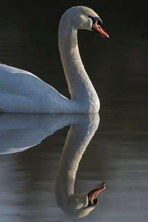 Mute swan, Cygnus olor, portrait