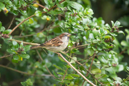 passer by: Sparrow, Passer domesticus, male, perched on a branch