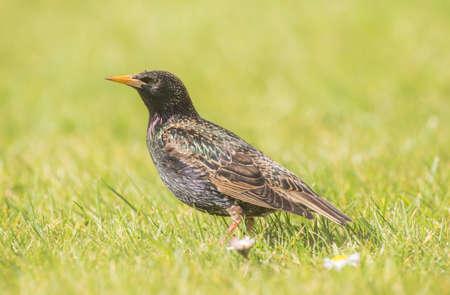 vulgaris: Starling, Sturnus vulgaris, standing on the grass