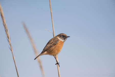 Stonechat, Saxicola rubicola, male, perched on a reed Stock fotó