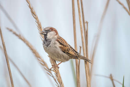 perched: Sparrow, Passer domesticus, perched on a reed Stock Photo