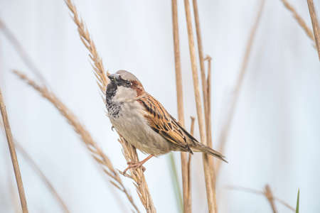 domesticus: Sparrow, Passer domesticus, perched on a reed Stock Photo