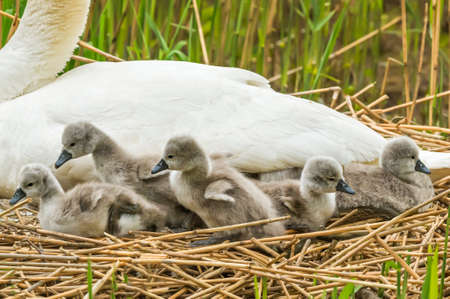 cygnus olor: Mute swan, Cygnus olor, on nest with Cygnets