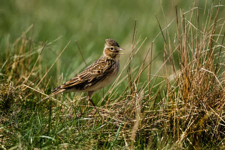 tweeting: Skylark, Alauda arvensis, standing on the grass tweeting