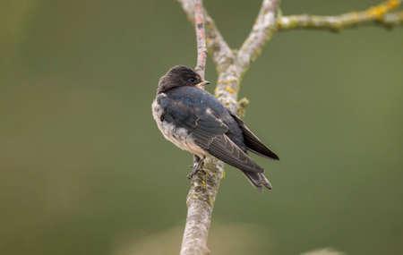 hirundo rustica: Swallow, Hirundo rustica, perched on a branch