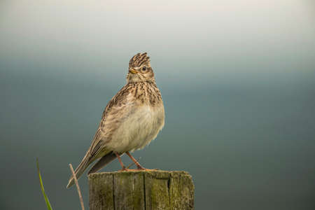 Skylark, Alauda arvensis, perched on a post, close up