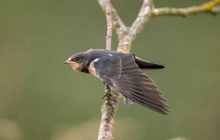 hirundo rustica: Swallow, Hirundo rustica, perched on a branch, wings open